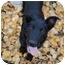Photo 1 - Shepherd (Unknown Type)/Labrador Retriever Mix Puppy for adoption in Meadow Lake, Saskatchewan - Lucky