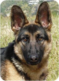 German Shepherd Dog Dog for adoption in Los Angeles, California - Lena von Malibu