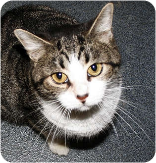 Domestic Shorthair Cat for adoption in Manahawkin, New Jersey - Sicily