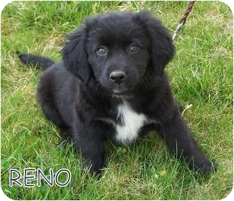 Retriever (Unknown Type)/Spaniel (Unknown Type) Mix Puppy for adoption in Milford, New Jersey - Reno