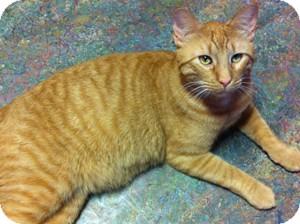 Domestic Shorthair Cat for adoption in Topeka, Kansas - Dunn