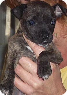 Chihuahua Mix Puppy for adoption in Browns Mills, New Jersey - Pepper
