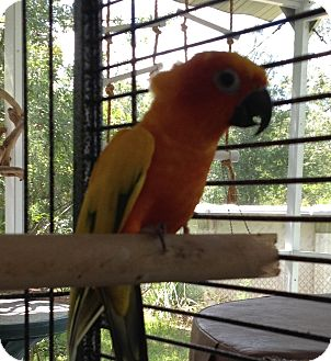 Conure for adoption in Punta Gorda, Florida - Sunday