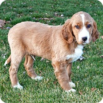 Golden Retriever/English Setter Mix Puppy for adoption in Howell, Michigan - Toby