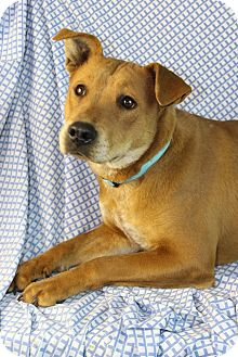 Shepherd (Unknown Type)/Australian Cattle Dog Mix Dog for adoption in Westminster, Colorado - Princess