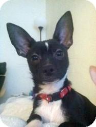 Chihuahua Mix Puppy for adoption in Mesa, Arizona - Harry