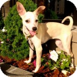 Terrier (Unknown Type, Small)/Chihuahua Mix Puppy for adoption in Madison, New Jersey - Maya