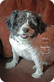 Lhasa Apso/Shih Tzu Mix Dog for adoption in Phoenix, Arizona - Moo