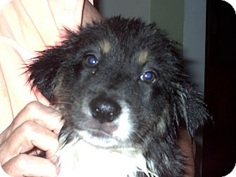 Border Collie Mix Puppy for adoption in Chesterfield, Michigan - Border Collie X