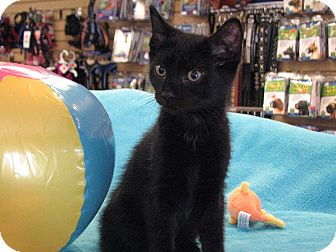 Domestic Shorthair Kitten for adoption in Wayne, New Jersey - Raven