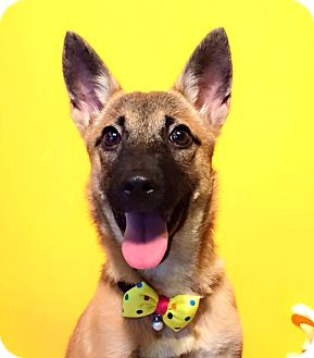 Labrador Retriever/Sheltie, Shetland Sheepdog Mix Dog for adoption in Castro Valley, California - Chia