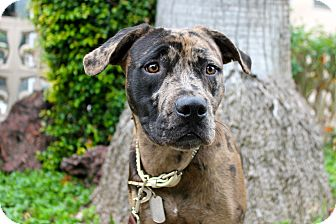 Catahoula Leopard Dog/American Bulldog Mix Puppy for adoption in Los Angeles, California - Phoebe