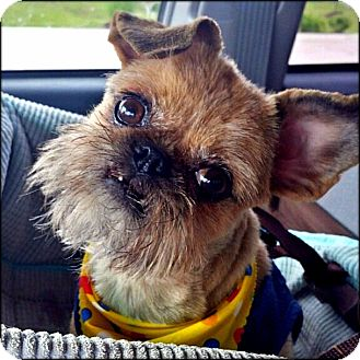 Brussels Griffon Dog for adoption in Seymour, Missouri - TAFFY - ADOPTION PENDING
