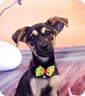 Labrador Retriever Mix Puppy for adoption in Castro Valley, California - Ninette