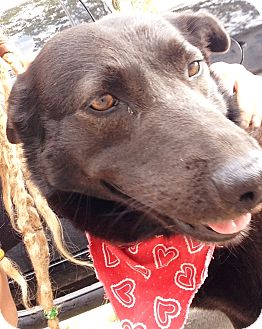German Shepherd Dog/Labrador Retriever Mix Dog for adoption in Austin, Texas - Molly