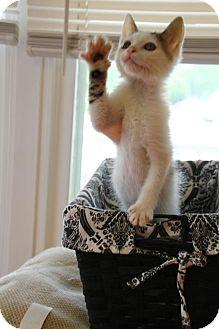 Domestic Shorthair Kitten for adoption in Huntsville, Alabama - Purcey