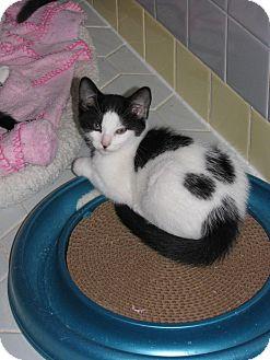 Domestic Mediumhair Kitten for adoption in Glen Mills, Pennsylvania - Panda Bear