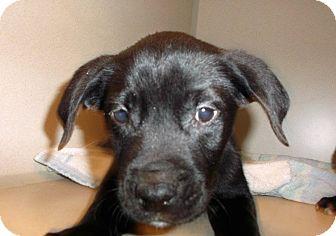 Labrador Retriever Mix Puppy for adoption in Milton, New York - Porky