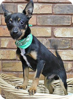 Chihuahua/Terrier (Unknown Type, Small) Mix Dog for adoption in Benbrook, Texas - Sumo