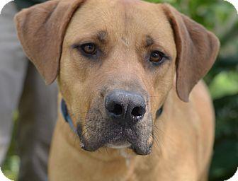 Mastiff Mix Dog for adoption in LAFAYETTE, Louisiana - HERCULES