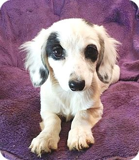 Dachshund/Spaniel (Unknown Type) Mix Puppy for adoption in Lawrenceville, Georgia - Sierra