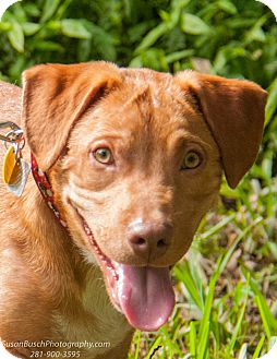 Vizsla/Black and Tan Coonhound Mix Dog for adoption in Seattle, Washington - Red Rover, Red Rover