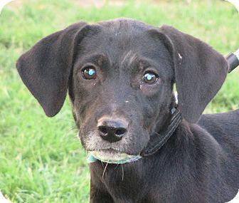 Labrador Retriever/Dalmatian Mix Puppy for adoption in Turlock, California - Shadow