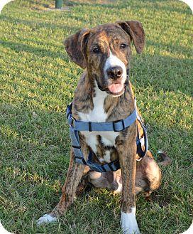 Boxer/Shepherd (Unknown Type) Mix Puppy for adoption in Glastonbury, Connecticut - Beau