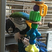 Macaw for adoption in Punta Gorda, Florida - Rocco