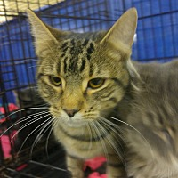 Adopt A Pet :: Scampers - Idaho Falls, ID