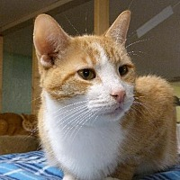 American Shorthair Cat for adoption in Westville, Indiana - Maximus