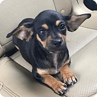 Adopt A Pet :: Cruz - San Antonio, TX