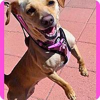 Adopt A Pet :: HARLEY***VIDEO*** - Pasadena, CA