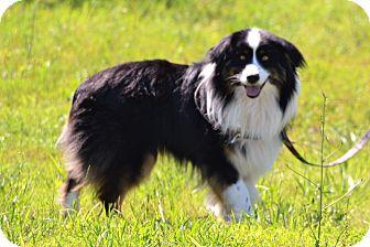 Australian Shepherd Dog for adoption in Lebanon, Missouri - Patches