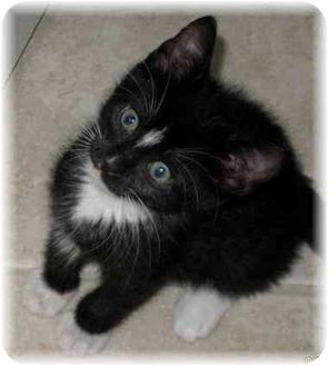 Domestic Mediumhair Kitten for adoption in Naples, Florida - Thomas