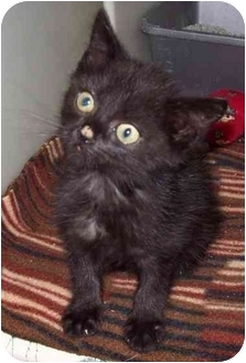 Domestic Shorthair Kitten for adoption in Howes Cave, New York - Black Tabby - On Hold