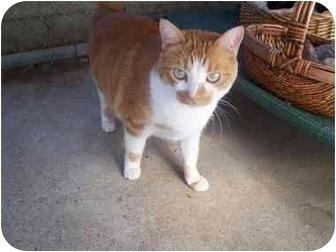 Domestic Shorthair Cat for adoption in El Cajon, California - Josie