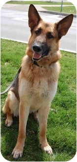 German Shepherd Dog Dog for adoption in Rochester/Buffalo, New York - Duke