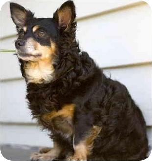English Toy Spaniel/Chihuahua Mix Dog for adoption in Portland, Oregon - Gabby