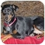 Photo 2 - Miniature Pinscher Dog for adoption in Crofton, Maryland - PENNY