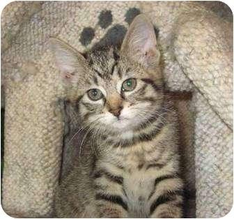 Domestic Shorthair Cat for adoption in Columbia, Illinois - Raine