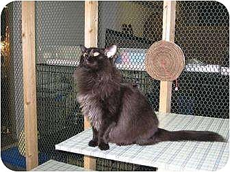 Domestic Longhair Cat for adoption in Winston-Salem, North Carolina - Lena