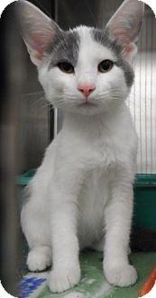 Domestic Shorthair Cat for adoption in Orland Park, Illinois - Kitten 2