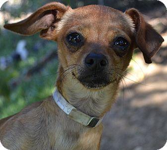 Dachshund/Chihuahua Mix Dog for adoption in Simi Valley, California - Paris
