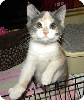 Calico Kitten for adoption in Stafford, Virginia - Fiona