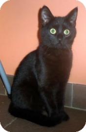 Domestic Shorthair Kitten for adoption in Columbus, Georgia - Slick 4647