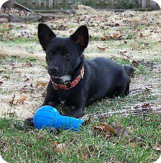 Terrier (Unknown Type, Small) Mix Dog for adoption in O'Fallon, Missouri - Spirit