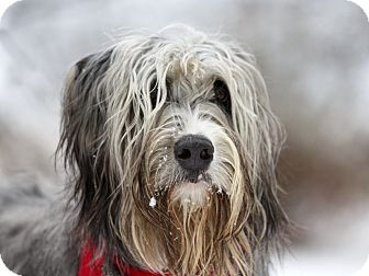 Briard Mix Dog for adoption in Ile-Perrot, Quebec - Doggy
