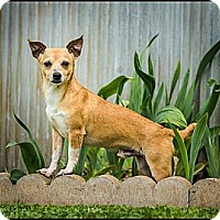 Adopt A Pet :: Romeo - Owensboro, KY