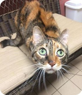 Calico Cat for adoption in Jackson, Michigan - Jackie Ann